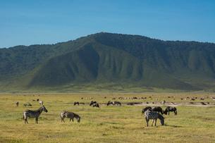 Common zebras (Equus quagga) in the Ngorongoro crater, Ngorongoro Conservation Area, UNESCO World Heの写真素材 [FYI03798948]