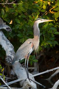 Great Blue Heron (Ardea Herodias), Rio Lagartos Biosphere Reserve, Rio Lagartos, Yucatan, Mexico, Noの写真素材 [FYI03799112]