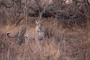 African Leopard (Panthera pardus) in savanna, Kruger National Park, South-Africa, Africaの写真素材 [FYI03799166]