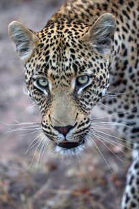 African Leopard (Panthera pardus) in savanna, Kruger National Park, South-Africa, Africaの写真素材 [FYI03799169]