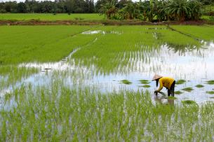 Woman farmer working in a rice field transplanting rice in the Mekong Delta, Can Tho, Vietnam, Indocの写真素材 [FYI03799194]
