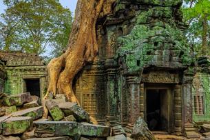 Tree root on gopura entrance at 12th century temple Ta Prohm, a Tomb Raider film location, Angkor, Uの写真素材 [FYI03799315]