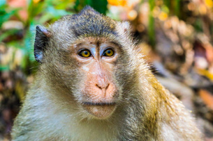 Crab-eating macaque (long-tailed macaque) monkey (Macaca fascicularis) in the jungle, Koh Rong Sanloの写真素材 [FYI03799335]