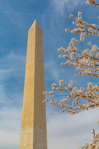 View of Washington Monument and spring blossom, Washington D.C., United States of America, North Ameの写真素材 [FYI03799529]