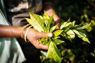 Tamil Woman Tea Picker in a Tea Plantation in the Highlands, Nuwara Eliya, Central Province, Sri Lanの写真素材 [FYI03799762]