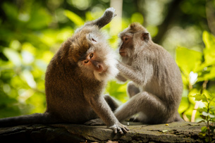 Long Tailed Macaques, Monkey Forest Sanctuary, Ubud, Bali, Indonesia, Southeast Asia, Asiaの写真素材 [FYI03799826]