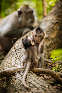 Baby Long Tailed Macaques, Monkey Forest Sanctuary, Ubud, Bali, Indonesia, Southeast Asia, Asiaの写真素材 [FYI03799828]