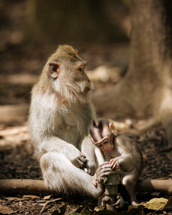 Monkey and baby long tailed Macaques playing with tap, Monkey Forest Sanctuary, Ubud, Bali, Indonesiの写真素材 [FYI03799831]