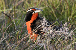 Long-tailed meadowlark (Leistes loyca) in its grassland habitat, Falkland Islands, South Americaの写真素材 [FYI03799877]