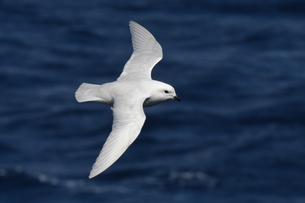 Snow petrel (Pagodroma nivea) in flight against a dark blue sea, South Georgia and South Sandwich Isの写真素材 [FYI03799885]
