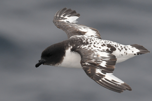 Close-up of a flying Cape petrel (Daption capense), South Georgia and the South Sandwich Islands, Poの写真素材 [FYI03799888]