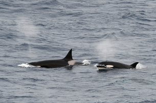 Two Type A orcas (Orcinus orca) suRF-NEacing together in the Southern Ocean, South Sandwich Islands,の写真素材 [FYI03799895]