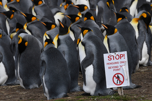 Warning sign to visitors delineating king penguin (Aptenodytes patagonicus) colony at Volunteer Poinの写真素材 [FYI03799930]