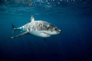Great white shark.の写真素材 [FYI03800225]