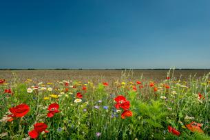 Wildflowers growing in rural fieldの写真素材 [FYI03800546]