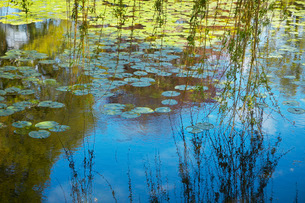 Willow Branches Over Lily Pad Covered Pondの写真素材 [FYI03800676]
