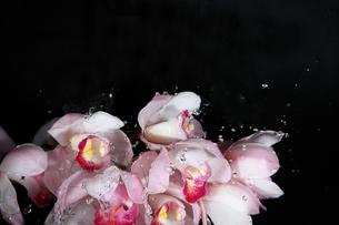 シンビジウムと水飛沫の写真素材 [FYI03801219]