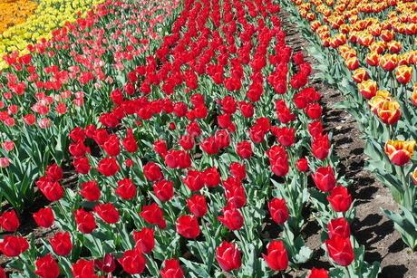 チューリップの花畑の写真素材 [FYI03801224]