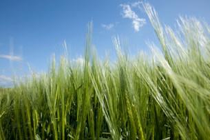 Close up of long grassの写真素材 [FYI03801517]