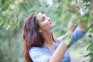 Woman picking olives in olive groveの写真素材 [FYI03801615]