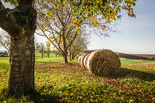 Round haystacks in a row in autumnal sceneの写真素材 [FYI03802039]