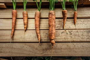 A row of freshly harvested carrots in garden shedの写真素材 [FYI03802264]