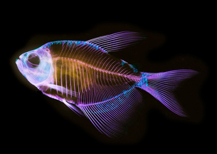 Alizarin bone stain anatomical fish skeleton preparation of a white finned tetraの写真素材 [FYI03803523]