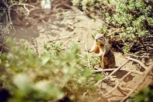 California ground squirrel, California, USAの写真素材 [FYI03803628]