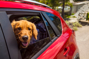 Dogs head poking out of  red car windowの写真素材 [FYI03803899]