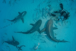 A dive master hand feeds bull sharks during the sharkエs winter migration, Playa del Carmen, Mexicoの写真素材 [FYI03804396]