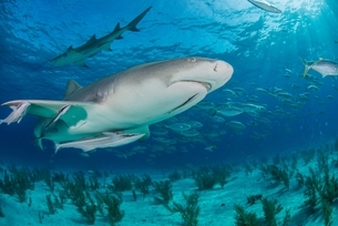 Low angle underwater view of lemon shark swimming near seabed, Tiger Beach, Bahamasの写真素材 [FYI03804415]