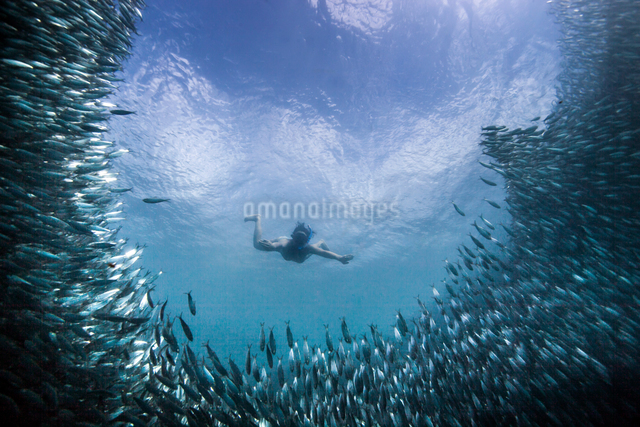Young woman swimming with school of sardines, Moalboal, Cebu, Philippinesの写真素材 [FYI03804589]