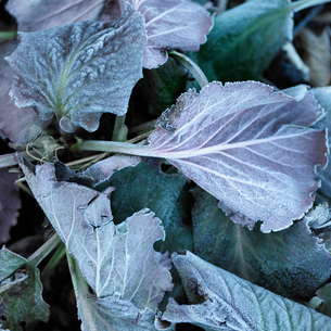 Overhead view of frost on purple leavesの写真素材 [FYI03804653]