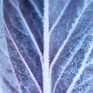 Full frame close up of frost on purple leafの写真素材 [FYI03804657]