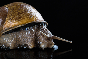 Close up of snail on black wet surfaceの写真素材 [FYI03804950]