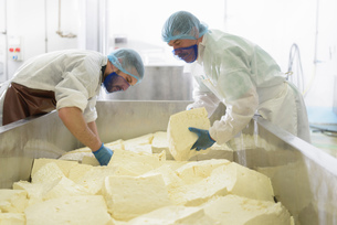 Workers cutting mozzarella cheese in cheese factoryの写真素材 [FYI03804968]