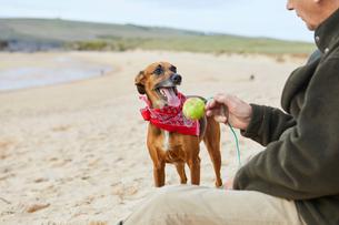Man and dog on beach, Constantine Bay, Cornwall, UKの写真素材 [FYI03805153]
