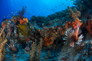Lionfish by reef, Cancun, Mexicoの写真素材 [FYI03805196]