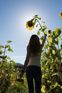Rear view of young woman holding sunflower stem in field on organic farmの写真素材 [FYI03805437]