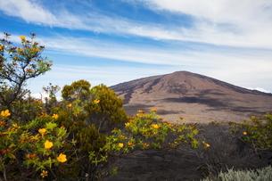 Volcanic landscape with yellow shrub flowers and Piton de la Fournaise, Reunion Islandの写真素材 [FYI03805566]