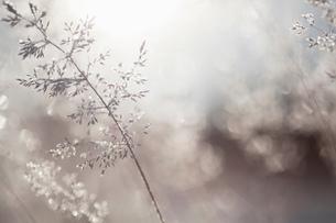 Close up of backlit frost ice crystals on wavy hair-grass (deschampsia flexuosa)の写真素材 [FYI03805917]