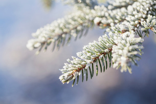 Close up of frost on branch and needles of Norway Spruce (Picea abies)の写真素材 [FYI03805922]