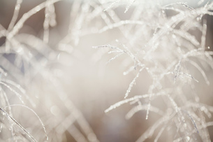 Close up of backlit frost ice crystals on long grassesの写真素材 [FYI03805928]