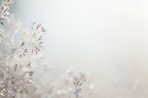 Close up of backlit frost ice crystals on wavy hair-grass (deschampsia flexuosa)の写真素材 [FYI03805932]