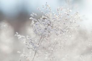 Close up of backlit frost ice crystals on wavy hair-grass (deschampsia flexuosa)の写真素材 [FYI03805934]