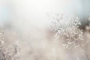 Close up of backlit frost ice crystals on wavy hair-grass (deschampsia flexuosa)の写真素材 [FYI03805935]