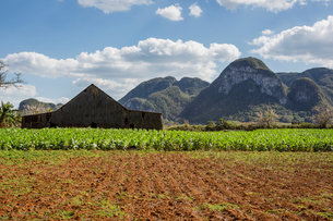 Agricultural field and farm building with mountain landscape, Vinales, Cubaの写真素材 [FYI03806014]