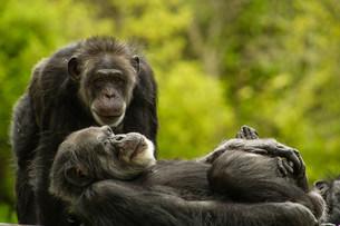Chimpanzees, San Francisco Zoo, California, USAの写真素材 [FYI03806223]
