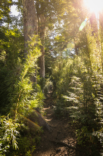 Rear view of female hiker trekking through forest, Nahuel Huapi National Park, Rio Negro, Argentinaの写真素材 [FYI03806375]