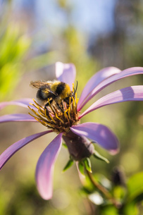 Close up side view of bee on purple flower, Nahuel Huapi National Park, Rio Negro, Argentinaの写真素材 [FYI03806377]
